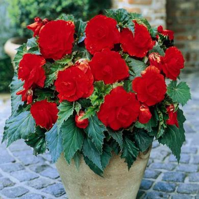 Begonia Double Red Bulbs Begonia Begonia Double Red
