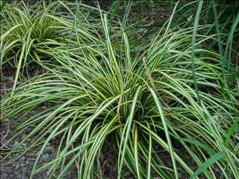 Carex evergold perennials carex evergold sycamore for Low growing perennial grasses