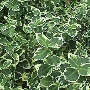 euonymus emerald gaiety shrubs young shrub plants. Black Bedroom Furniture Sets. Home Design Ideas