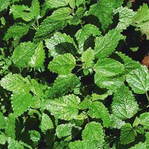 "Lemon Balm ""melissa officinalis"""