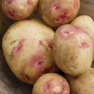CARA Seed Potatoes