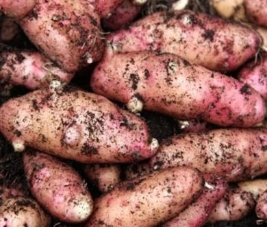 Seed Potatoes Pink Fir Apple