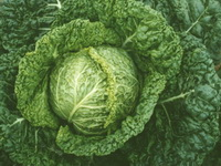 Savoy Cabbage Early Pointed