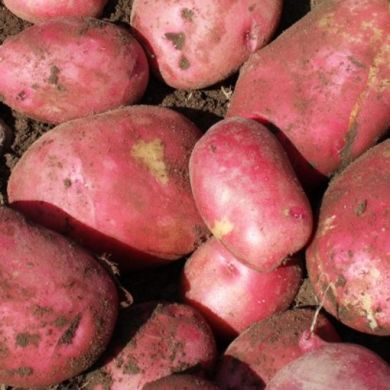 Seed Potato RED KING EDWARD
