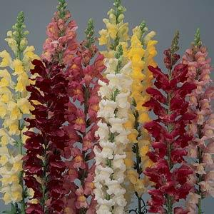 SNAPDRAGON Tall