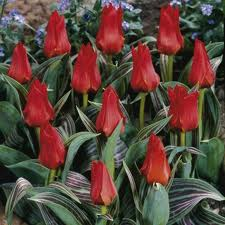 DWARF TULIP Red Riding Hood