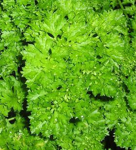 "Parsley Fine Leaved Curled ""Astra"""