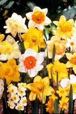 DAFFODIL BULBS MIXED