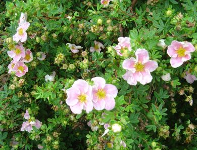 "POTENTILLA fruiticosa ""PRINCESS"""
