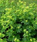 ALCHEMILLA mollis or Lady's Mantle