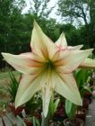 AMARYLLIS or HIPPEASTRUM Magic Green