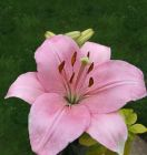 ASIATIC LILY Pink