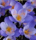 Autumn Crocus Conqueror
