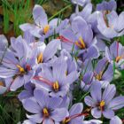 AUTUMN  CROCUS zonatus