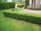 Buxus semp. Common Boxwood