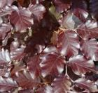 Fagus purpurea or Copper Beech
