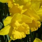Daffodil GOLDEN HARVEST