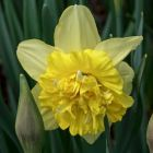 DAFFODIL BULBS Great Leap