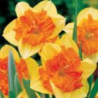 DAFFODIL BULBS Mondragon