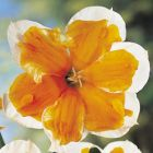DAFFODIL BULBS Sunny Girlfriend