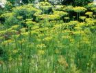 "Dill ""anethum graveolens"""