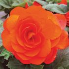 BEGONIA Double  ORANGE