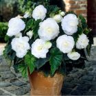 BEGONIA Double  WHITE