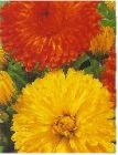 ENGLISH or POT  MARIGOLD