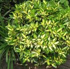 "EUONYMUS fortunei ""SUNSPOT"""