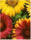 "Gaillardia aristata ""Brown-Eyed Susan"""