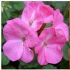 GERANIUM  Polaris Rose