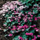 HARDY CYCLAMEN BULBS