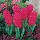HYACINTH BULBS Jan Bos