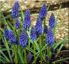 GRAPE HYACINTH Muscari armeniacum