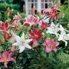 ORIENTAL LILIES Mixed
