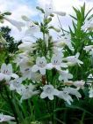 PENSTEMON Wedding Day