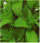 "Peppermint ""mentha piperita"