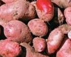 Highland Burgundy Red Seed Potatoes
