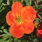 POTENTILLA fruiticosa RED ACE