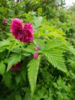 RUBUS Olympic Double
