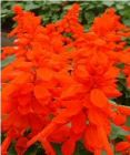 SALVIA  Sizzler Red