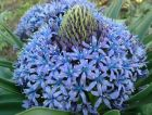 "SCILLA peruviana ""The Cuban Lily"""
