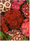 "Sweet William ""Dianthus barbatus"""