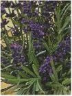 TRUE LAVENDER lavandula officinalis