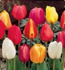 DARWIN TULIP BULBS