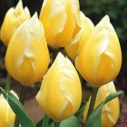 "TULIP ""SWEETHEART"""