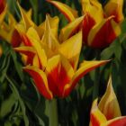 DWARF TULIP Yellow Dawn