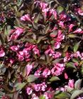 "WEIGELA floridia ""Foliis Purpureis"""