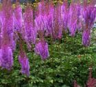 ASTILBE PURPLE