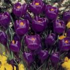 CROCUS Large Flowered Hybrids